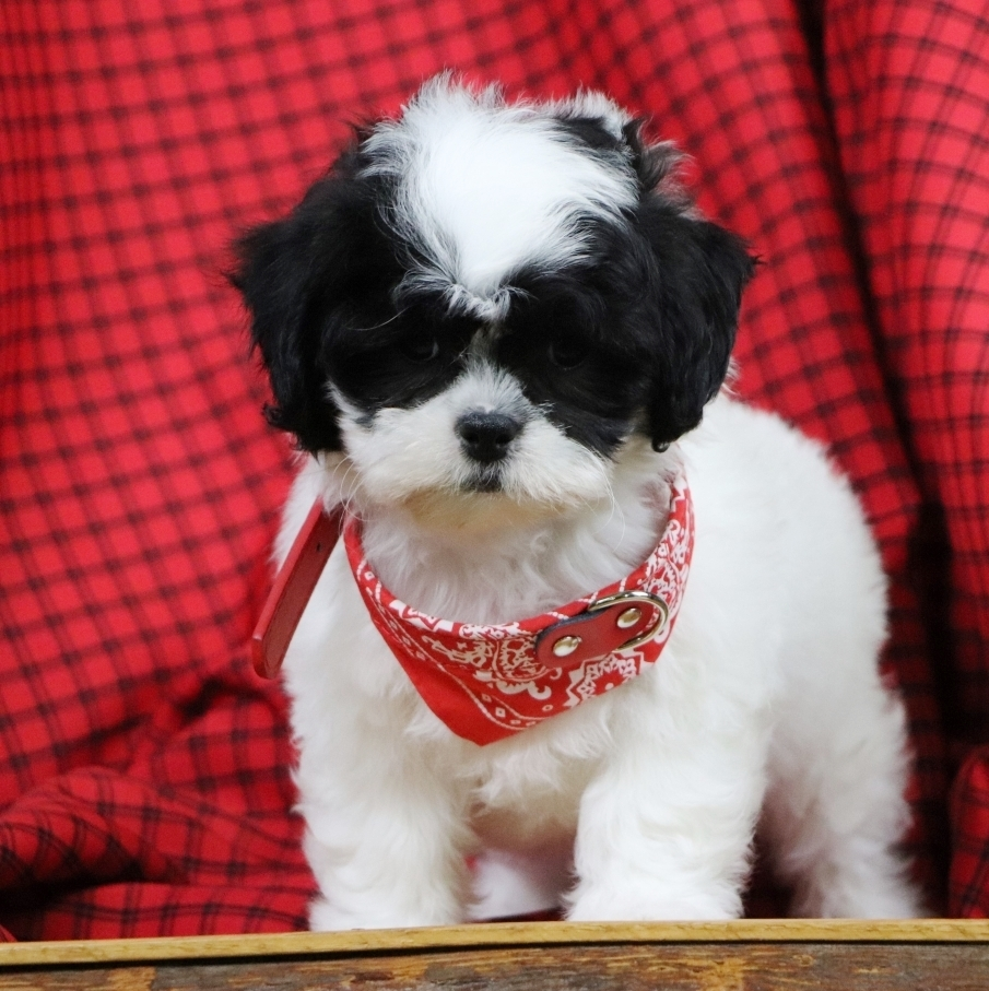 Shichon puppies for sale in indiana - Shichon Puppies For Sale In Indiana 27
