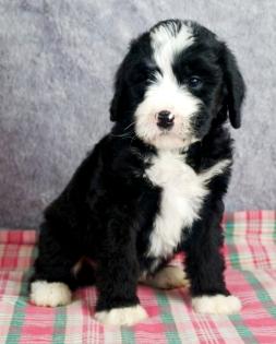 Ian Bernedoodle Puppy ...
